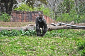 Silver Black Gorilla