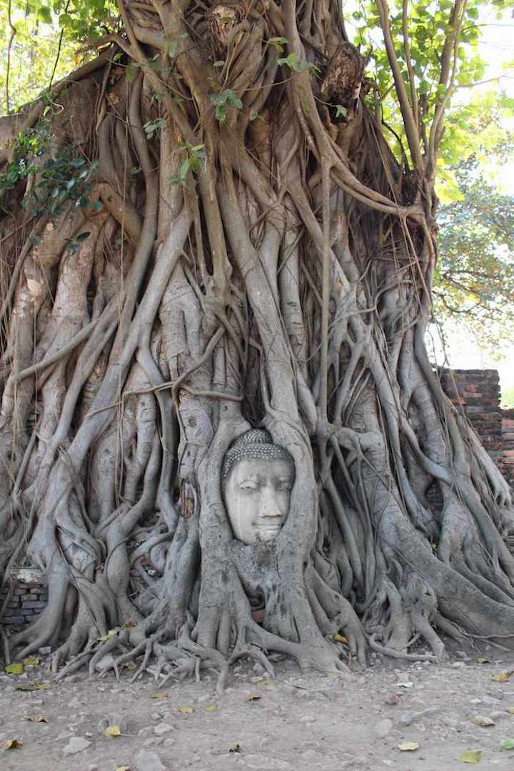 close up of ancient buddha head in tree