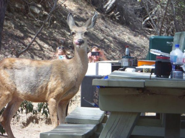 a deer sneaking food from a picnic table