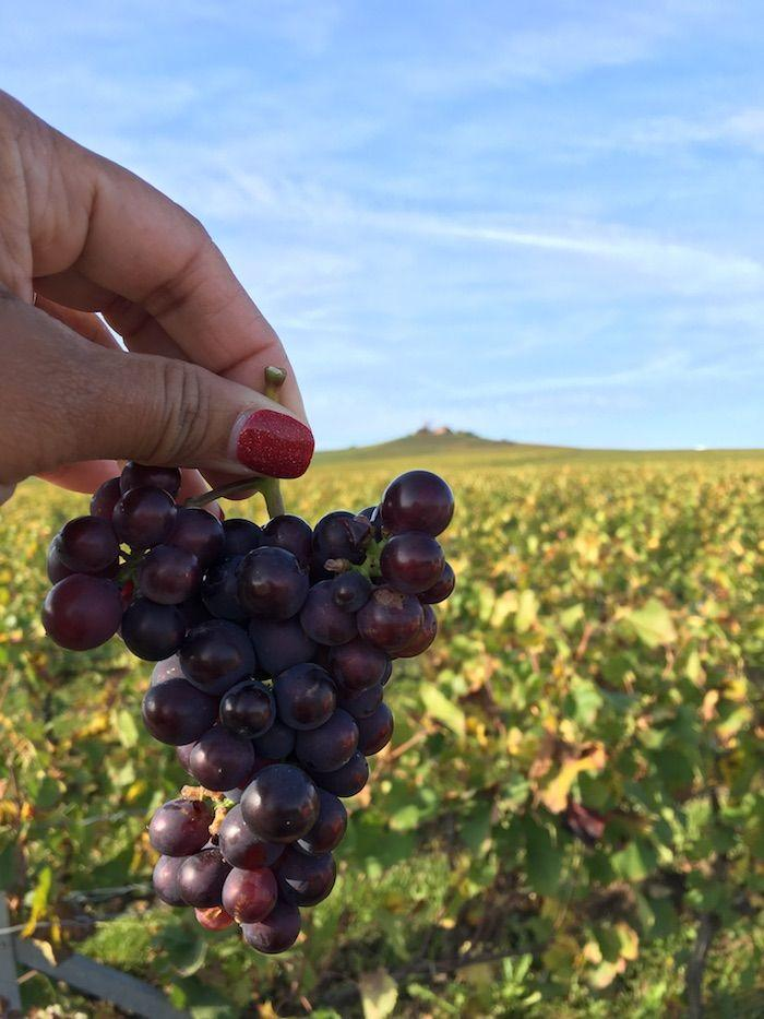 a hand holding a bunch of red grapes in a vineyard in Verzenay
