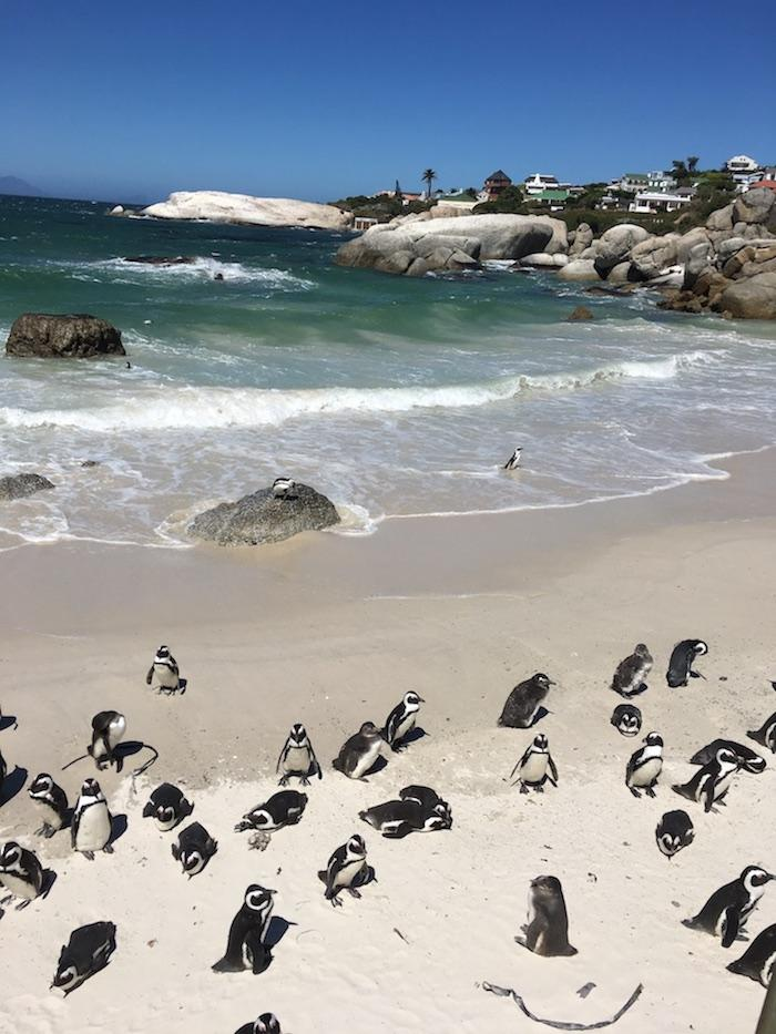 boulders beach, cape town south africa